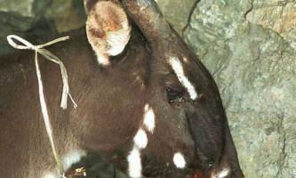 У в`єтнамі вдалося виявити рідкісне ссавець - азіатського єдинорога