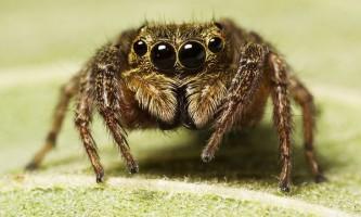 Під час полювання павуки-скакуни застосовують оригінальне інженерне рішення