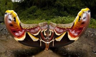 Під час прогулянки фотограф зняв одну з найбільших метеликів в світі