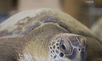 Водіїв сша просять поступитися дорогою черепахам