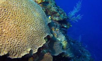 Водорості-симбіонти коралів, гинучи, тягнуть за собою своїх господарів