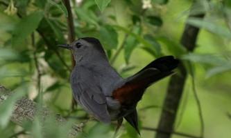 Вокальні здібності птахів залежать від відносних пропорцій мозку