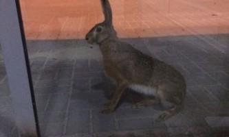 Волгоградський заєць спробував покинути місто на літаку