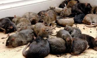Волгограду загрожує нашестя щурів