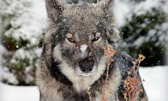 Волкособ - напіввовк і напівсобаки