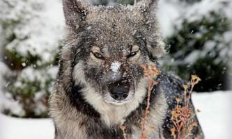 Волкособи, або волкопси