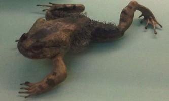 Волохата жаба (лат. Trichobatrachus robustus)