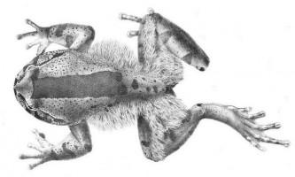 Волохаті жаби. Зовнішній вигляд, фото жаб