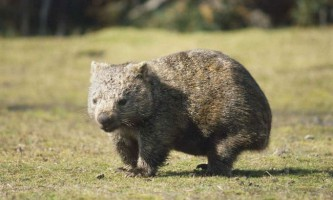 Вомбат - маленька копія ведмедя