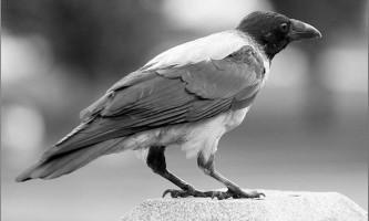 Ворона - пташиний геній