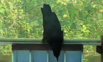 Ворони показали нове вміння - використання дзеркала