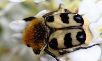 Восковик - блискучий жук