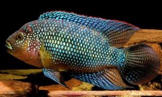 Восьміполосая ціхлазома або риба «бджілка»