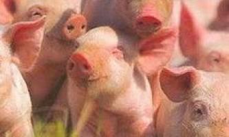 Відтворення стада свиней