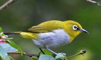 Східна белоглазка або пташка-невидимка