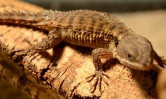 Східноафриканський поясохвостов - колючий ящірка