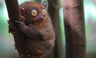 Можливо, філіппінський долгопят використовує ультразвук для спілкування