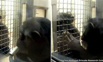 Можливо, шимпанзе властиве почуття справедливості