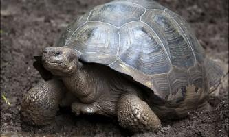 Можливо, слонові черепахи з галапагосских островів не вимерли