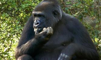 Виникнення праворукости у мавп сприяло розвитку мовлення