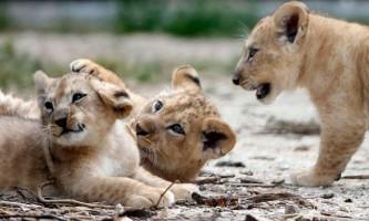 Вперше за два десятиліття в руанді з`являться леви