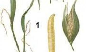 Шкідники зернових культур. Система захисних заходів
