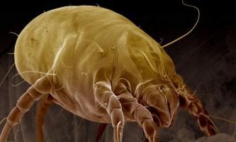 Все про пилових кліщів: як убезпечити свій будинок від паразитів?