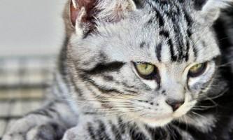 Все про американську короткошерстої кішці - історія породи, характер і поведінку