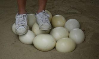 Все про яйця страуса: коли і скільки несе