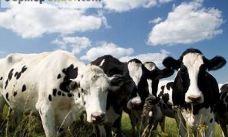 Вся правда про бруцельозі великої рогатої худоби