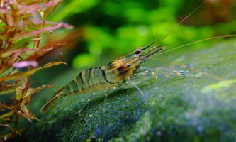 Вибираємо акваріумні види креветок макробрахіум