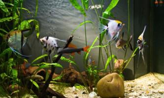 Вибираємо акваріумних сусідів для скалярій
