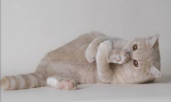 Вибираємо британського кошеня шоу-класу