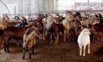 Вибір кози: поради при купівлі
