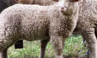 Вибір овець для розведення