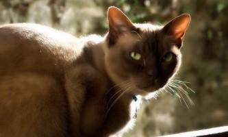 Виділення у вагітної кішки