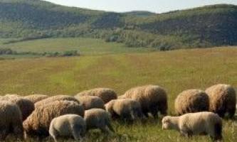 Вигода й користь від овець і кіз