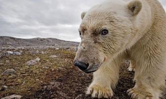Виявлено переможця в протистоянні білих і бурих ведмедів