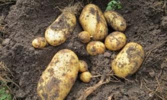 Вирощуємо картоплю під соломою