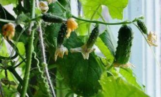 Вирощуємо огірки на підвіконні: практичні поради