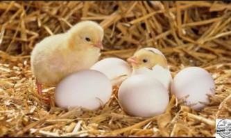 Вирощування курчат в домашніх умовах