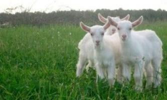 Вирощування і годівля козенят