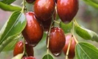 Вирощування і корисні властивості зизифуса