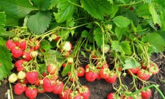 Вирощування полуниці в теплиці