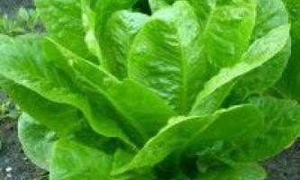 Вирощування качанового салату