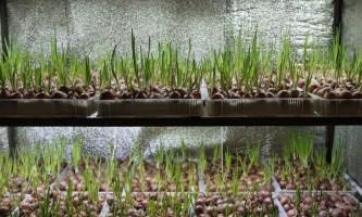 Вирощування цибулі в теплиці