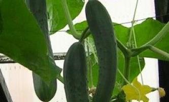 Вирощування огірків на підвіконні