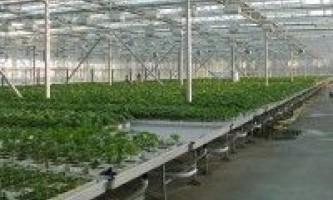 Вирощування огірків в теплицях