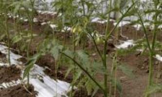 Вирощування овочів під плівкою