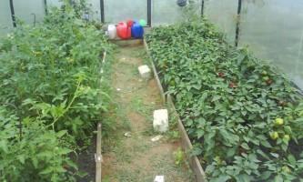 Вирощування перцю в теплиці
